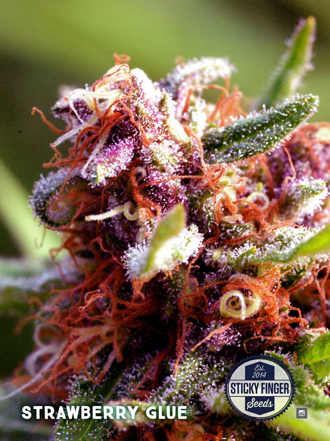 Sticky-Finger-Seeds-Strain-Photo-Sheets-Strawberry-Glue-2